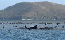 This photograph taken on September 21, 2020 shows a pod of whales stranded on a sandbar in Macquarie Harbour on the rugged west coast of Tasmania. (Photo by - / POOL / AFP) (Photo by -/POOL/AFP via Getty Images)