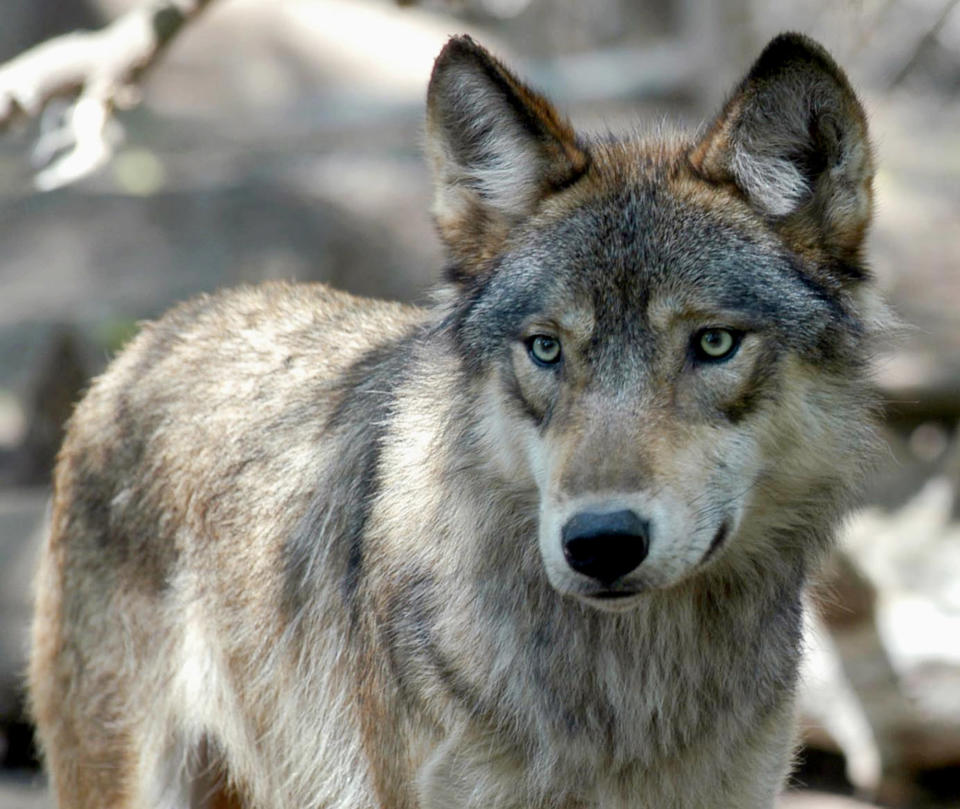 FILE - In this July 16, 2004, file photo, a gray wolf is seen at the Wildlife Science Center in Forest Lake, Minn. Wolf hunting policies in some U.S. states are taking an aggressive turn as Republican lawmakers and conservative hunting groups push to curb their numbers. Antipathy toward wolves for killing livestock and big game dates to when early European immigrants settled the American West in the 1800s. (AP Photo/Dawn Villella, File)