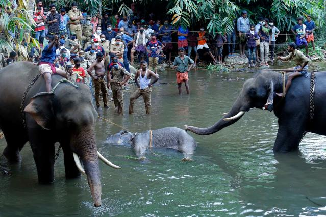 TOPSHOT - This photograph taken on May 27, 2020 shows policemen and onlookers standing on the banks of the Velliyar River in Palakkad district of Kerala state as a dead wild elephant (C), which was pregnant, is retrieved following injuries caused when locals fed the elephant a pineapple filled with firecrackers as it wondered into a village searching for food. (Photo by STR / AFP) (Photo by STR/AFP via Getty Images)
