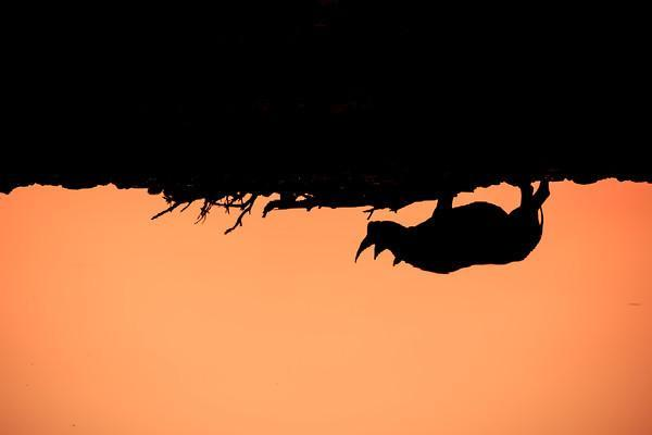 Namibia Photo Safari, rhinoceros silhouette at Okaukuejo Camp waterhole at sunset, Etosha National Park, a vast protected reserve in northern Namibia with huge herds of big game