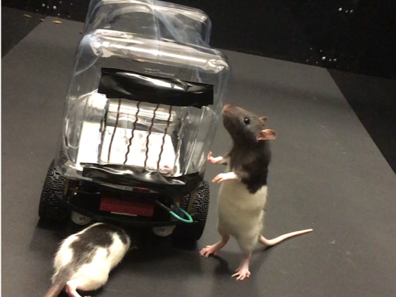 Two rats outside of car
