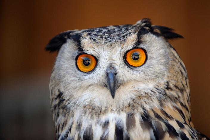 An eagle owl (Hibou grand-duc) is pictured at the zooinAmneville, France, on July 8, 2013.