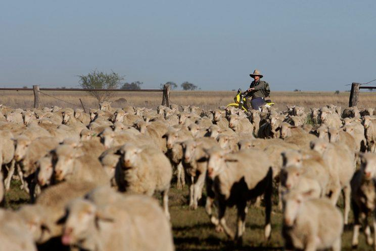 One of Australia's biggest exports is sheep and wool (Lisa Maree Williams/Getty Images)