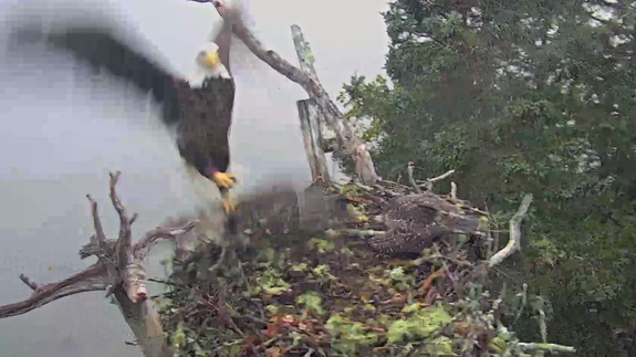 Intense bald eagle attack caught on nest camera