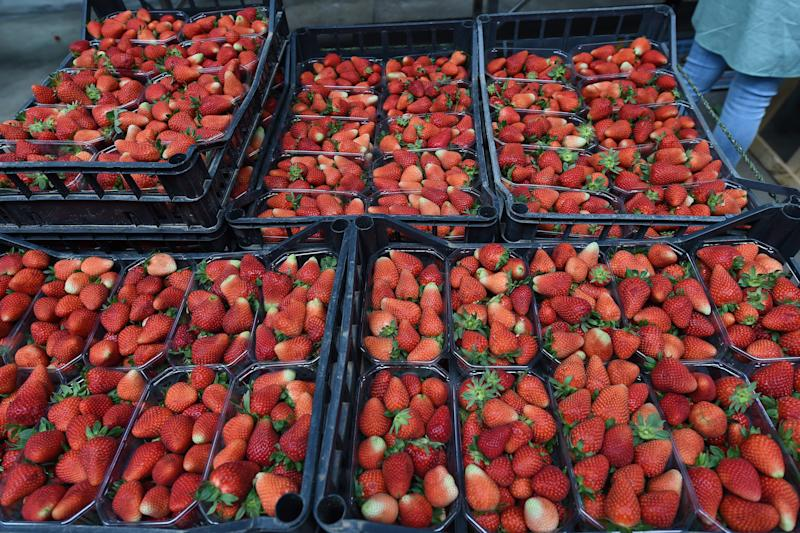 BATTIPAGLIA, ITALY - MAY 13: Strawberries already picked placed in boxes on May 13, 2020 in Various Cities, Italy. Italy was the first country to impose a nationwide lockdown to stem the transmission of the Coronavirus (Covid-19), and its restaurants, theaters and many other businesses remain closed. (Photo by Francesco Pecoraro/Getty Images)