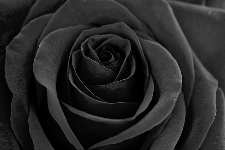 """<p>Black may not be the first color that comes to mind when celebrating love and friendship, but <a href=""""https://www.flowerglossary.com/the-meaning-of-black-roses/"""" rel=""""nofollow noopener"""" target=""""_blank"""" data-ylk=""""slk:black roses actually symbolize rebirth and new beginnings"""" class=""""link rapid-noclick-resp"""">black roses actually symbolize rebirth and new beginnings</a>. Since it's impossible to find roses this dark without the help of a florist's dye, they also carry an air of mystery.<br></p><p><a class=""""link rapid-noclick-resp"""" href=""""https://www.amazon.com/Black-Bouquet-Flower-Explosion-Tinted/dp/B00K1JVJO6?tag=syn-yahoo-20&ascsubtag=%5Bartid%7C10055.g.1352%5Bsrc%7Cyahoo-us"""" rel=""""nofollow noopener"""" target=""""_blank"""" data-ylk=""""slk:SHOP BLACK ROSES"""">SHOP BLACK ROSES</a></p>"""
