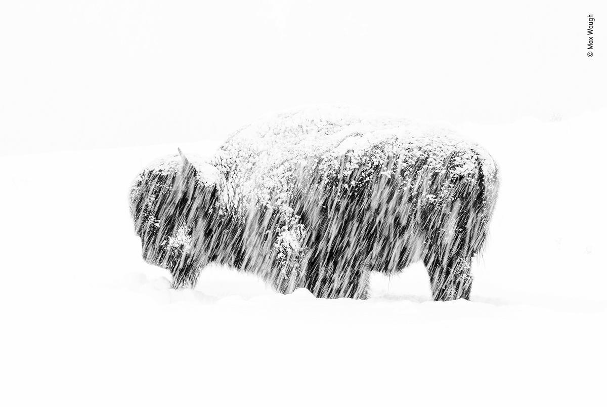 In a winter whiteout in Yellowstone National Park, a lone American bison stands weathering the silent snow storm. Shooting from his vehicle, Max could only just make out its figure on the hillside. Slightly overexposing it to enhance the whiteout and converting the photograph to black and white accentuated the simplicity of the scene.