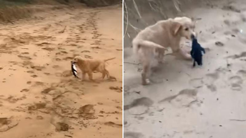 Video shows a puppy at the beach picking up a penguin in its teeth.