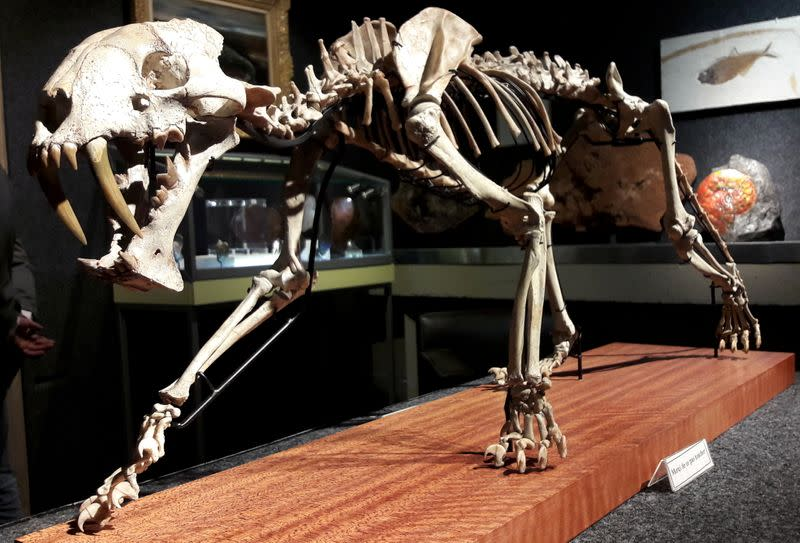 The skeleton of a saber-toothed tiger hoplophoneus primaveus is seen during an auction preview at Piguet Auction House in Geneva