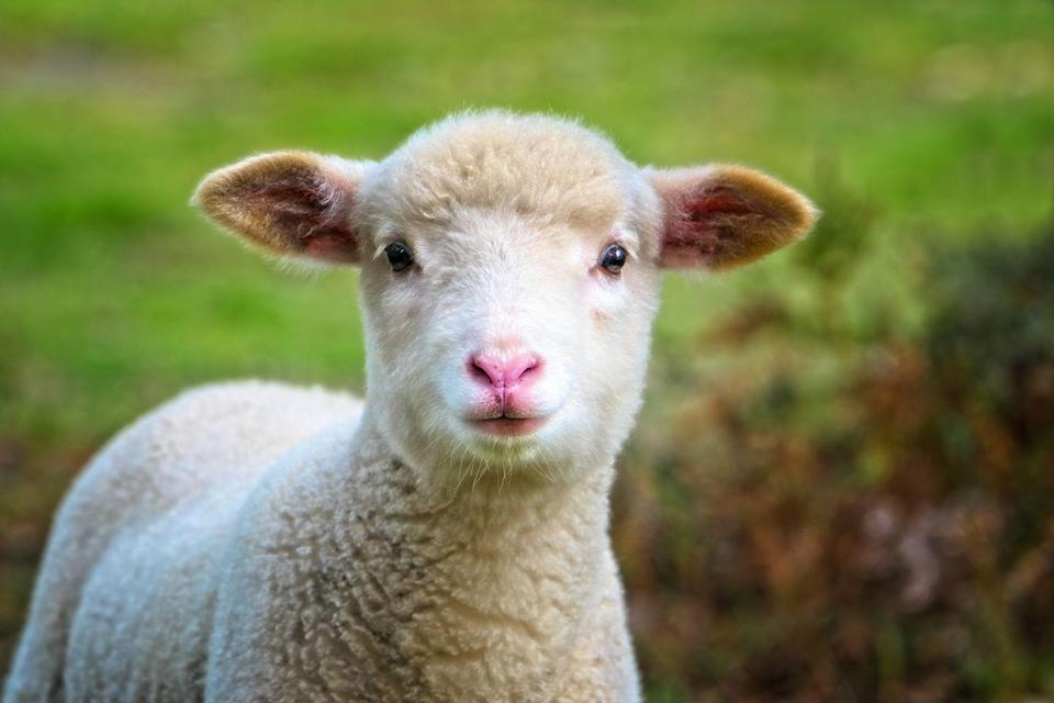 """<p>Watch sheep, goats and new-born lambs via this adorable live stream. """"Our web cam points right down at our farm animals so you'll never miss a moment as they go about their daily lives. It's especially exciting when we've got new babies,"""" explains the farm. </p><p><a class=""""link rapid-noclick-resp"""" href=""""https://www.folly-farm.co.uk/webcams/barn-webcam/"""" rel=""""nofollow noopener"""" target=""""_blank"""" data-ylk=""""slk:WATCH NOW"""">WATCH NOW</a></p>"""