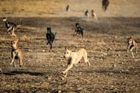 Hunting dogs run together in the village of Ad-Derbasiyah in Syria's Kurdish-held northeastern Hasakah province, where many will be exported for racing in the Gulf
