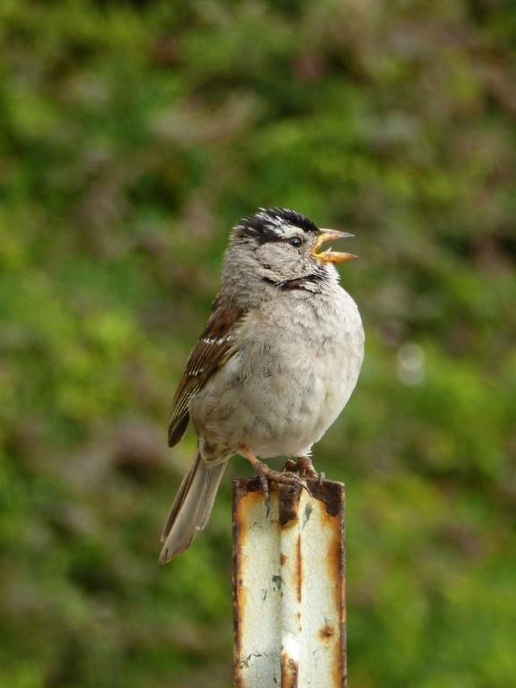 A new paper adds to a growing body of research describing how animals -- from whales to coyotes to the white-crowned sparrow (seen here) -- have adapted their behaviors to the Covid-19 shutdowns