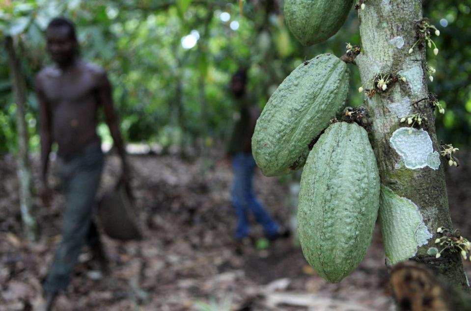 """<span class=""""caption"""">A farmer walks past cocoa pods growing on a tree on a cocoa farm in Ivory Coast. </span> <span class=""""attribution""""><span class=""""source"""">(AP Photo/Rebecca Blackwell) </span></span>"""
