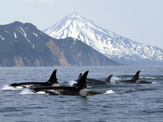 Killer whales can live to be as old as 80, develop tight family bonds and friendships that last decades (Getty)