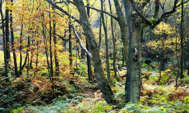Autumn trees and bracken in Guisecliff Wood