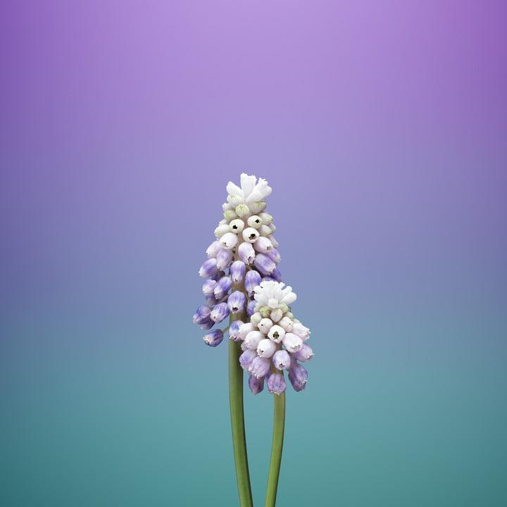 ios 11 wallpapers flower muscari