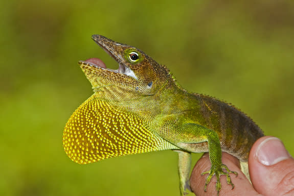 Caribbean Lizards Suggest Evolution More Predictable Than Thought