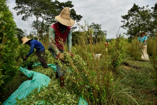It's hard graft working in Colombian coca plantations but it earns $144 a month, more than most jobs available to Venezuelan migrants