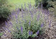 """<p>This <a href=""""https://www.provenwinners.com/plants/caryopteris/petit-bleu-bluebeard-caryopteris-x-clandonensis"""" rel=""""nofollow noopener"""" target=""""_blank"""" data-ylk=""""slk:tall shrub"""" class=""""link rapid-noclick-resp"""">tall shrub</a> needs a lot of attention—and not just from the butterflies that tend to flock it. Make sure your caryopteris is planted in a spot that gets plenty of sunlight with well-drained soil. </p><p><strong>When it blooms: </strong>Late summer to first frost</p><p><strong>Where to plant:</strong> Full sun</p><p><strong>When to plant:</strong> Fall or spring</p><p><strong>USDA Hardiness Zones:</strong> 5 to 9</p>"""