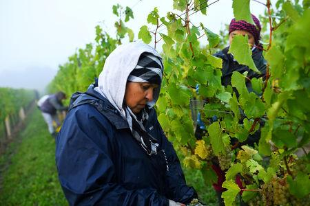 FILE PHOTO: Migrant workers pick grapes at a vineyard in Aylesford, Kent, Britain, October 5, 2018. REUTERS/Dylan Martinez/File Photo
