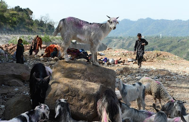 The Bakarwals bring their animals down from the Kashmir plains into Jammu in September and October to avoid the tough winter and return again the following spring (AFP Photo/SAJJAD HUSSAIN)