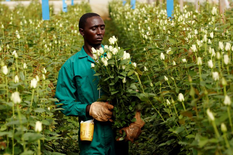 FILE PHOTO: A worker picks flowers designated for export at a farm near the town of Thika