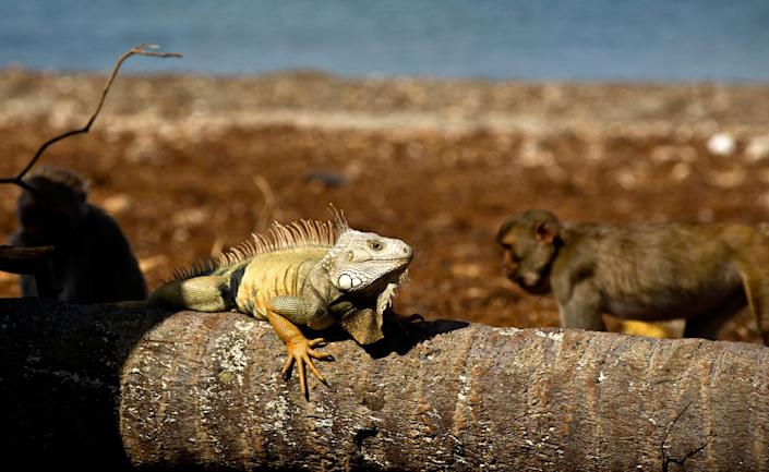 <p>An iguana sunbathes as monkeys walk behind on Cayo Santiago, known as Monkey Island, in Puerto Rico on Oct. 4, 2017. In 1938, man known as the father of American primate science, Clarence Ray Carpenter, wanted a place with the perfect mix of isolation and free range, where the monkeys could be studied living much as they do in nature without the difficulties of tracking them through the wild. (Photo: Ramon Espinosa/AP) </p>