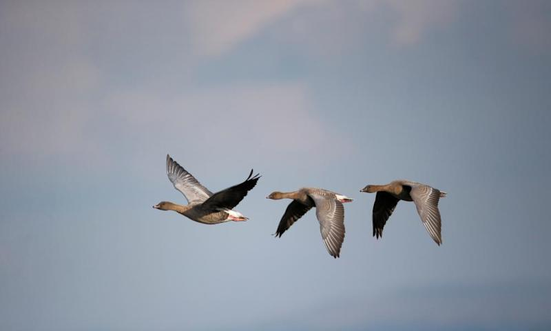 Three pink-footed geese in flight