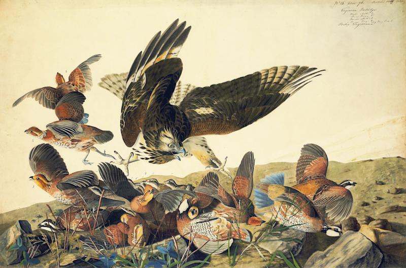 """This ca. 1825 image provided by the New-York Historical Society of a Red-shouldered Hawk attacking Northern Bobwhites is one of 474 bird watercolors by John James Audubon in the collection of the New-York Historical Society, which is mouting three exhibitions of all of its Audubon images over three years. The 474 watercolors include 435 that were engraved for Audubon's monumental """"The Birds of America."""" It's considered the greatest book of printed engravings ever produced. The first group went on view March 8. (AP Photo/New-York Historical Society, John James Audubon)"""