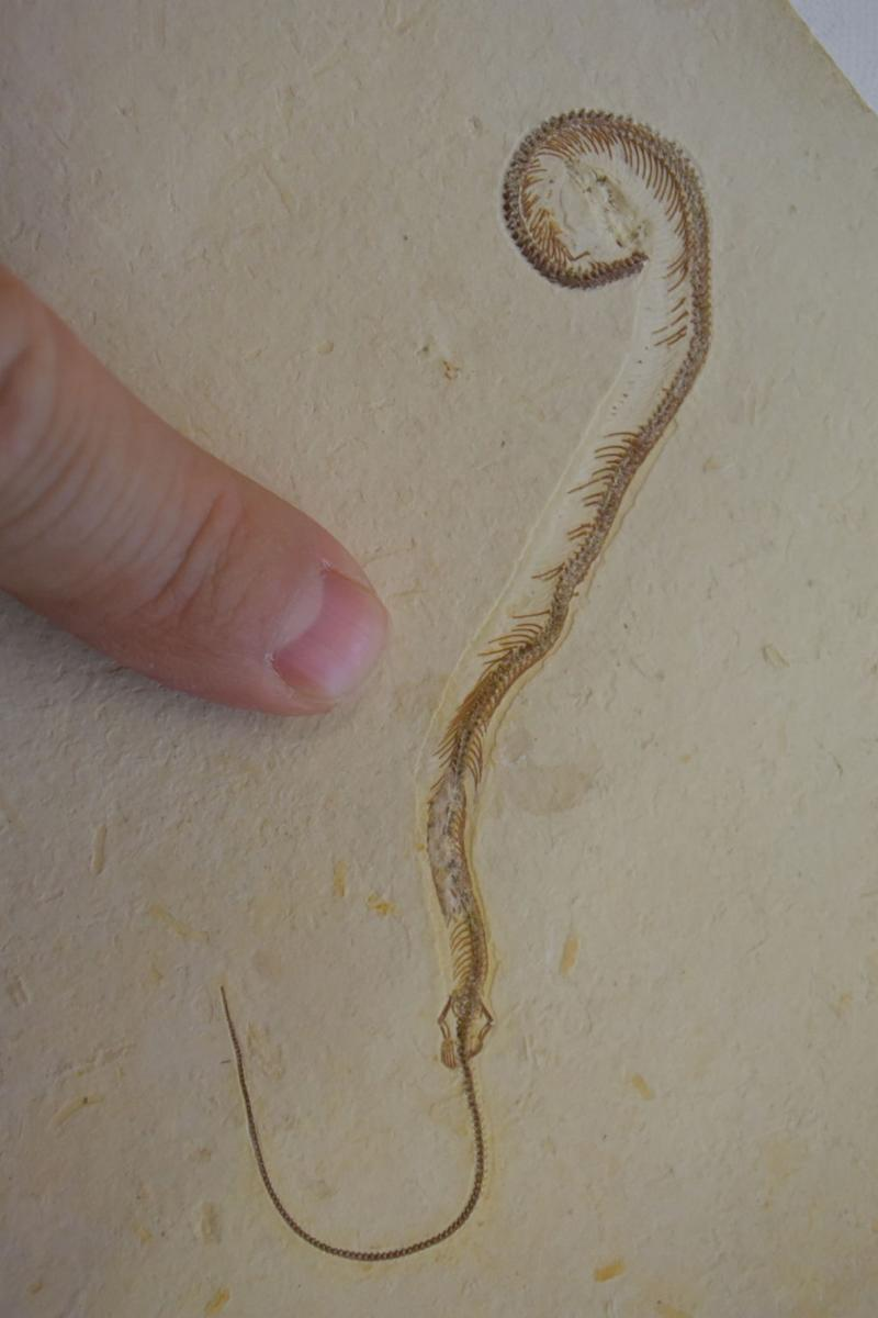 Mistaken Identity? Debate Over Ancient 4-Legged Snake Heats Up