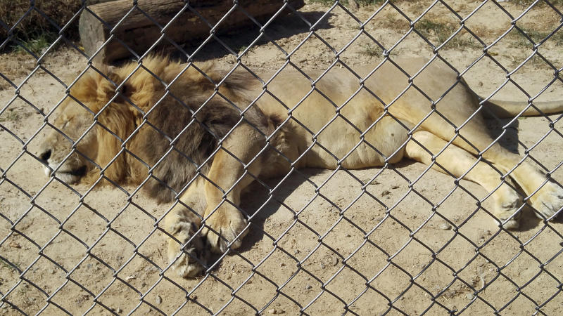 In this Sept. 30, 2017 photo made available by Erik Sommer, the lion Matthai relaxes inside his enclosure at the Conservators Center in Burlington, NC. Matthai escaped from his enclosure in December 2018, and fatally mauled a 22-year-old Conservators Center intern before he was shot eight times and died. Now the intern's family is supporting legislation in North Carolina that would tighten restrictions on ownership of large carnivorous animals. (Erik Sommers via AP)