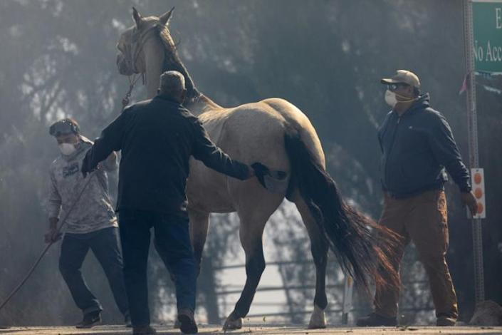 A horse is evacuated from the Easy Fire on October 30, 2019 near Simi Valley, California (AFP Photo/DAVID MCNEW)