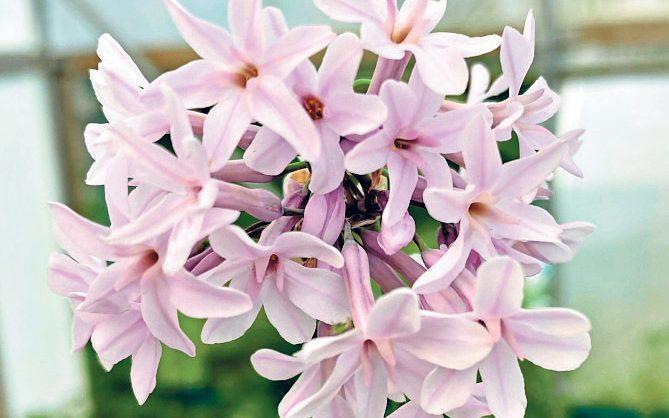 Guests to the festival await the release of a new pink tulbaghia named 'Hoyland Pink Beauty', originally destined for Chelsea 2020 - Hoyland Plant Centre