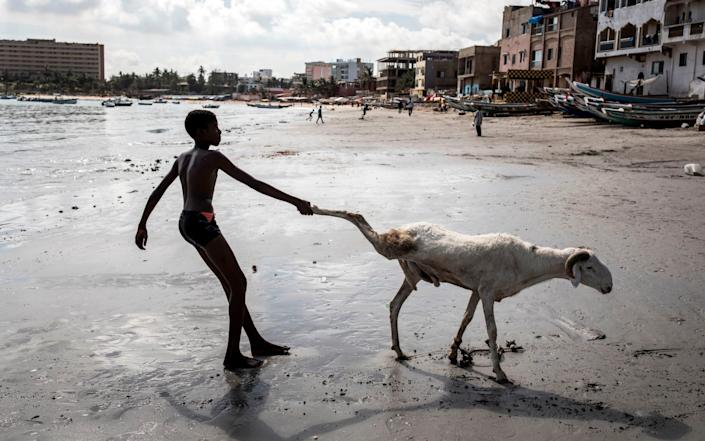 A farmer in Dakar, Senegal, drags his sheep to the shore to wash it before sale - GETTY IMAGES