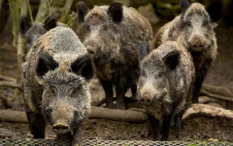 The feral hogs can cause chaos for agricultural production - South West News Service