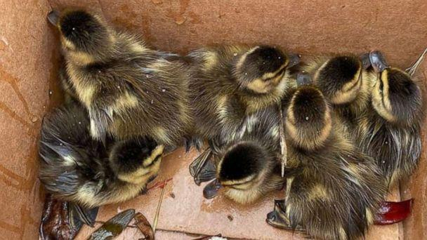 PHOTO: Massachusetts State Trooper Jim Maloney happened to discover eight baby ducklings stuck in the bottom of a storm drain after they somehow separated from the family and fall through a grate in the parking lot of Nahant Beach, northeast of Boston. (Massachusetts State Police)