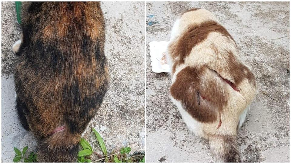 Reports of cats being slashed in the vicinity of several Ang Mo Kio housing blocks emerged in May, with the SPCA appealing for information and asking the community to watch out for the cats in the area. (PHOTO: Facebook/Louis Ng)