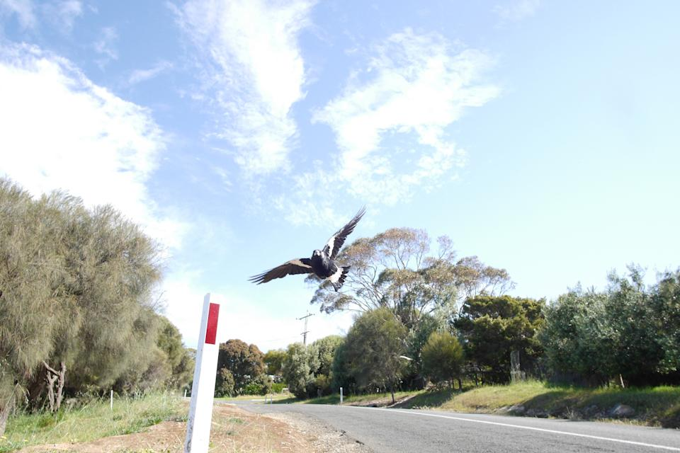 An Australian magpie swooping through the air in defence it's nest.Source:Getty images