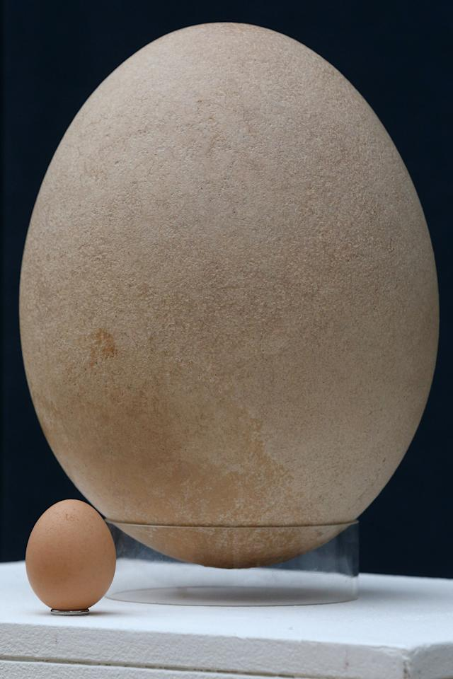 LONDON, ENGLAND - MARCH 27:  A complete sub-fossilised elephant bird egg sits next to a chicken's egg, in Christie's auction house on March 27, 2013 in London, England. The elephant bird egg is expected to fetch 30,000 GBP when it features in Christie's 'Travel, Science and Natural History' sale, which is to be held on April 24, 2013 in London.  (Photo by Oli Scarff/Getty Images)