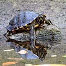 """<p>Reptiles, like turtles, snakes, or lizards, are great starter pets for kids to have. They're quiet, low maintenance, and nonallergenic. But, it's key to get as much information on your new animal before buying (did you know that turtles could be <a href=""""https://www.cdc.gov/salmonella/oranienburg-10-19/index.html"""" rel=""""nofollow noopener"""" target=""""_blank"""" data-ylk=""""slk:linked to salmonella"""" class=""""link rapid-noclick-resp"""">linked to salmonella</a>?). You'll also want to make sure there's a vet in your area that can take care of your pet in case anything were to happen in the future.</p>"""
