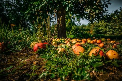 Cider farmers have to wait for the apples to fall from the tree - Credit: istock