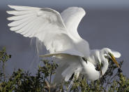 FILE - In this April 19, 2015 file photo, two great egrets mate in their nest in the mangroves on an island in Cat Bay, in Plaquemines Parish, La. Ten years after the nation's biggest offshore oil spill fouled its waters, the Gulf of Mexico sparkles in the sunlight and its fish are safe to eat. But scientists who have spent $500 million dollars from BP researching the impact of the Deepwater Horizon disaster have found much to be concerned about. (AP Photo/Gerald Herbert, File)