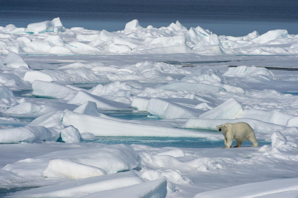 A polar bear walks on the pack ice north of Svalbard, Norway.