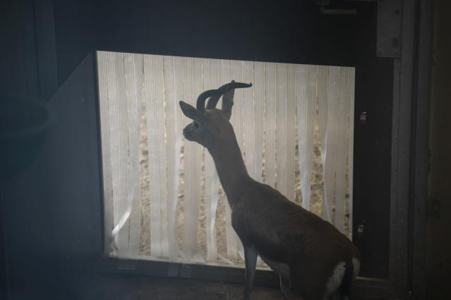 In this Wednesday, May 15, 2019 photo, a male Saharan Dorcas gazelle looks outside from the indoor area of her enclosure at the zoo in Barcelona, Spain. Animal rights activists in Barcelona are celebrating a victory after the Spanish city ordered its municipal zoo to restrict the breeding of captive animals unless their young are destined to be reintroduced into the wild. (AP Photo/Renata Brito)