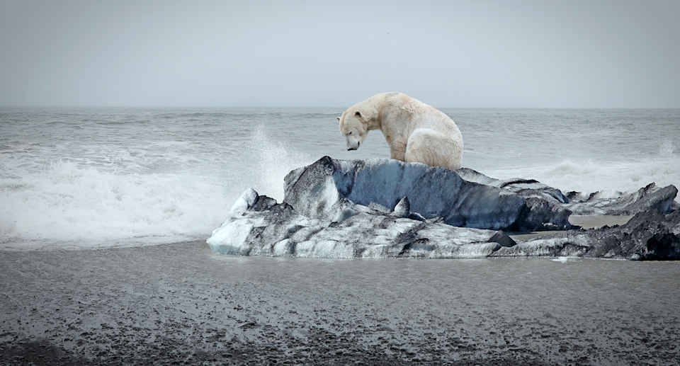 A polar bear on dirty ice looking depressed.