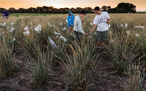 Kernza grain growing in a field - Credit: ©The Land Institute