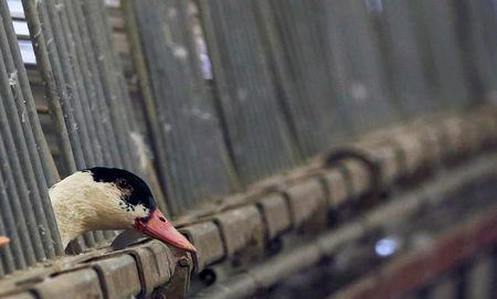 FILE PHOTO: A duck is seen in its enclosure at a poultry farm in Doazit, Southwestern France, December 17, 2015. REUTERS/Regis Duvignau/File Photo