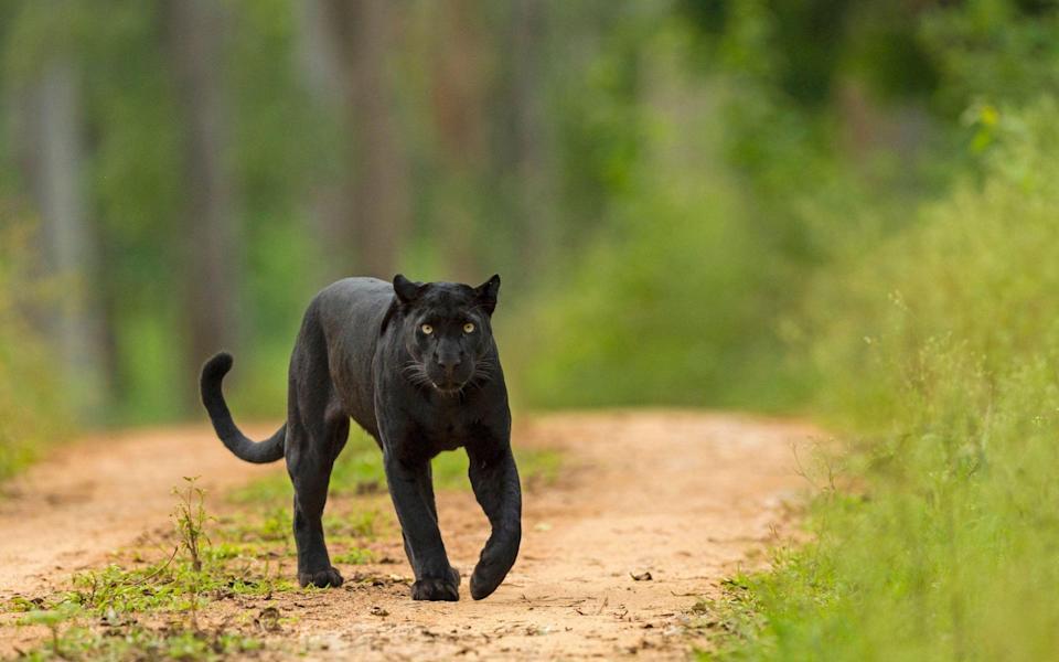 A file photo of a black panther, or melanistic leopard, on a track in Karnataka in India - Alamy
