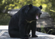 A black bear yawns at its enclosure at the Dachigam National Park on the outskirts of Srinagar, Indian controlled Kashmir, Saturday, Sept. 12, 2020. Amid the long-raging deadly strife in Indian-controlled Kashmir, another conflict is silently taking its toll on the Himalayan region's residents: the conflict between man and wild animals. According to official data, at least 67 people have been killed and 940 others injured in the past five years in attacks by wild animals in the famed Kashmir Valley, a vast collection of alpine forests, connected wetlands and waterways known as much for its idyllic vistas as for its decades-long armed conflict between Indian troops and rebels. (AP Photo/Mukhtar Khan)