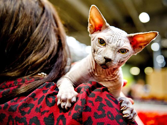 <p>Winter Mistry Frodo, a Sphynx kitten Cat participates in the GCCF Supreme Cat Show at National Exhibition Centre on October 28, 2017 in Birmingham, England. (Photo: Shirlaine Forrest/WireImage) </p>
